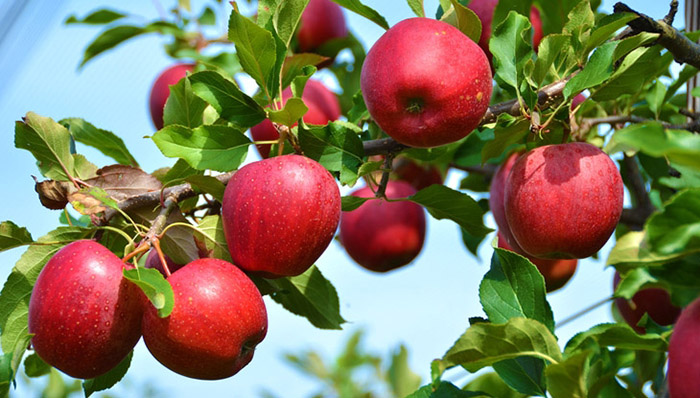 Яблоко на голодный желудок